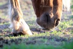 ottensen-pferde_1020-01-1